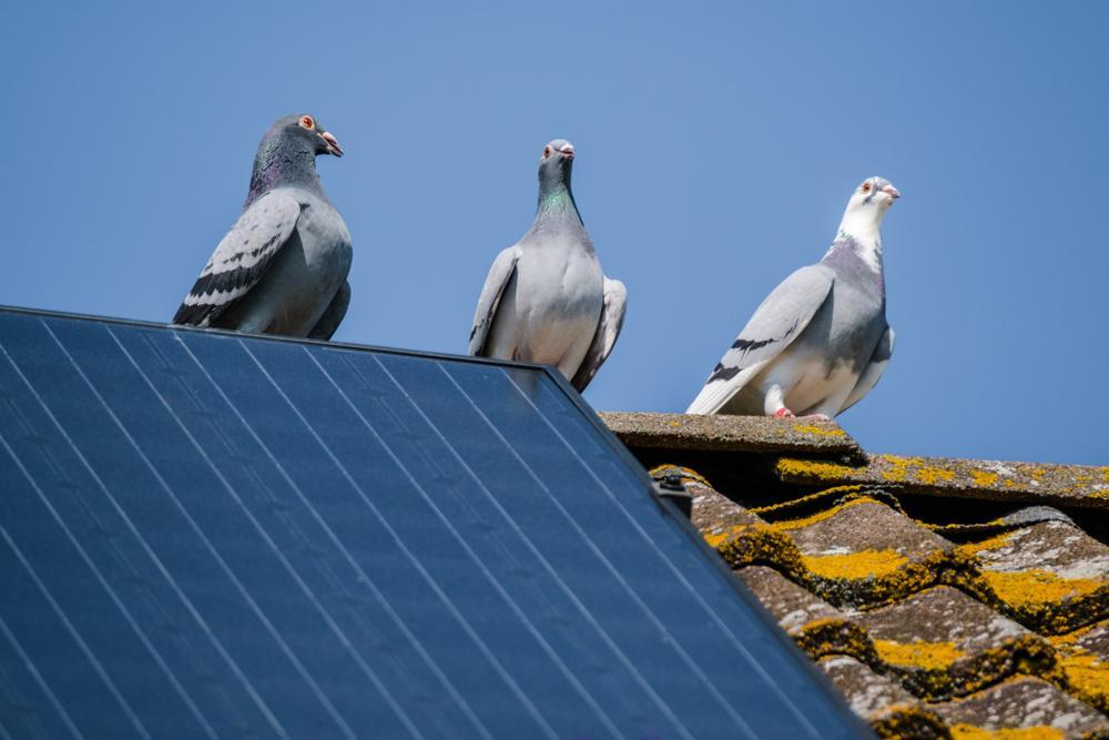 Piccioni su un tetto con impianto fotovoltaico